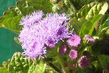 Flowers from Oak Park Flower Farm / Flowers I grow at Oak Park Flower Farm, 648 Vetter Lane, Arroyo Grande, San Luis Obispo County, California / by Oak Park Flower Farm