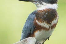 King Fisher Birds