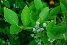 Garden: Blueberries