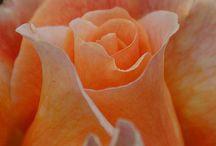 Favorite roses
