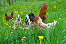 Pastured Chicken Benefits