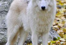 Wolf Blue eye
