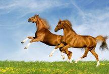 Les chevaux  . Horses