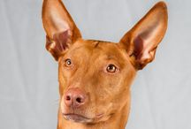 """Pharaoh Hound / Medium-sized and of noble bearing, the Pharaoh Hound should be graceful, powerful, and above all - fast. Coat color can range from tan to chestnut to red golden, with white markings on the tip of the tail, chest, toes and on the center line of the face. A unique breed characteristic is their """"blush"""" - when happy or excited, the nose and ears turn a deep rose color. Today, their willingness to please makes them excellent candidates for hunting, obedience and lure coursing."""