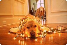 Love Golden Retrievers