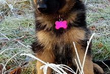 Jazzy longhaired German Shepherd / Jazzy my longhaired  German Shepherd