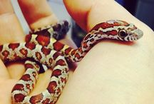 Corn snakes - I want one.