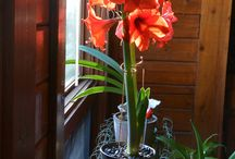 GARDEN: AMARYLLIS ADVENT / What's winter without blooms? Desolate. Grow some amaryllis for Advent and beyond.  / by Dee Nash