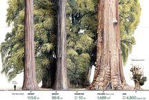 Eucalyptus soorten