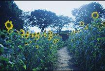 ひまわり畑の道を抜けたら海! だったらいいですが実際は畑。 It's summer's view. #summer #sunflower #summerview #flowers #夏の風景 #ひまわり写真
