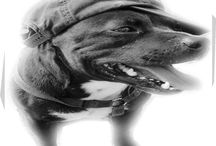 Beautiful pets: Dogs / Maximus Glutimus Ovenstone: My 14 year old Staffordshire Bull Terrier