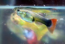 El Peixos a Primer / Activitat d'escriptura lliure sobre els peixos