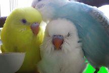 andulky(budgerigar)