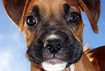 Boxer Love / I would LOVE to have another Boxer. / by K M
