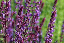 Violetti valtaa puutarhan / Tänä vuonna puutarha pukeutuu violettiin! Pantone-värikoodisto nimesi vuoden 2018 'the värin' ultravioletiksi. Mitä kaikkea violettia puutarhasta löytyykään!