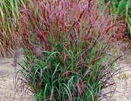 Ornamental grasses for zone 4 and colder