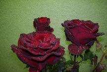 Roser / Om rosers oprindelse, formering og pasning