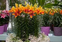All About the Lily Plant