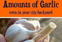 Grow garlic