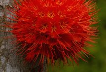 Panama Flame Tree (Brownea macrophylla) flower | by Peter Oxford