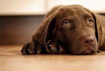 "Chesapeake Bay Retrevier / My dog born 18.07.2015 ""Alokas"" Happy Snooper Fast Nose"
