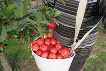 Quand cueullir les pommes, de votre verger / C'est au cours de la maturation que s'élabore la qualité organoleptique des fruits (Accumulation de sucres et d'acides, production d'arômes, modifications de la texture….). C'est la raison pour laquelle il est essentiel de maîtriser le processus de maturation afin de connaître le moment idéal pour la récolte de vos pommes, suivant l'utilisation, que vous voulez faire. (La conservation, le jus de pomme, de la pâtisserie, la distillation,...)