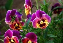 Kvety fialky