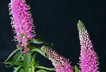 Vaste planten / Vaste planten voor in onze tuin