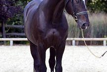fotografie anglických koní