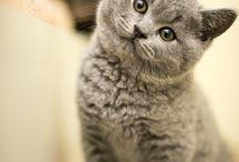 Koteły brytyjskie