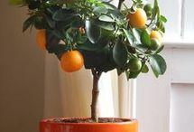 plantas frutíferas em vasos