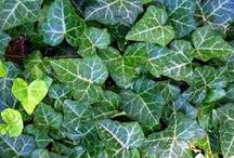 Ground Cover Vine Plants