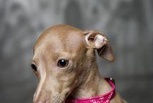 I T A L I A N Greyhound