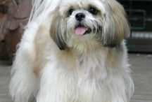 Shihtzu haircut
