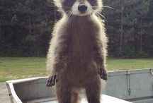 Raccoons / Adorable racoons! (My second favorite animal)