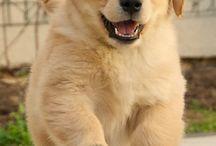 Puppies :) / Golden puppy !