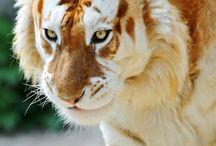 tigres bonitos