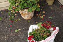 Övervintring av blommor
