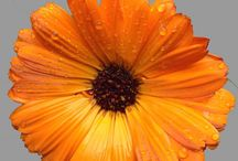 Asteraceae (Compositae) / A selection of plant images and medicinal information on plants from the Asteraceae (Compositae) botanical family. More commonly known as the sunflower/daisy family.