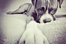 Dogs / Boxer x