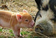 adorable piggies