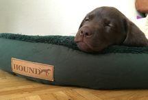 Noa - Labrador - brown
