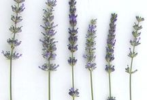 Lavender flower / The lavander flower