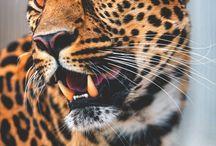 jaguar/luipaard / Luipaarden en jaguars