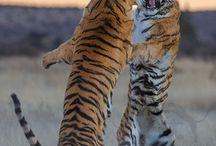 tigres qui se bat