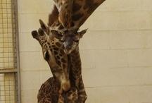 Giraffes forever!