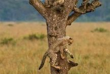 giaguari