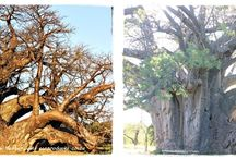 Famous Baobabs / A collection of some of the world's most famous Baobab trees