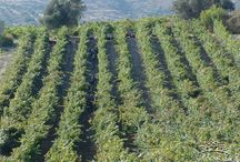HARVEST 2015 / Harvest at Douloufakis Vineyards, 2015. #wine #vine #vineyard #harvest #Douloufakis #winery #2015 #Crete