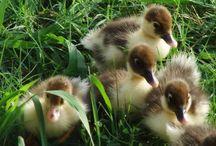 I Love Ducks / by Mary Mitchell
